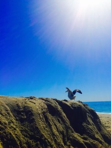 Aliso Beach, Aliso Beach Seagull, Aliso Beach Seagull Flight Preparation