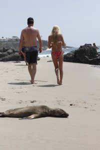 beached sea lion, beached sea lion laguna beach, beach sea lion pup laguna beach, sea lion problem laguna beach